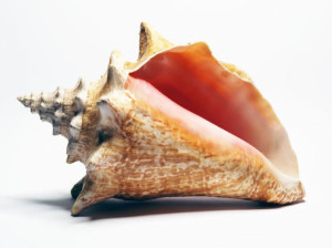 LIVING ROOM conch-shell2-300x224